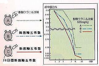 腎臓病モデル実験動物を用いた新茵陳五苓散の尿蛋白改善効果