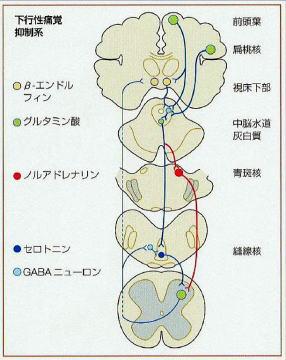 鍼灸の鎮痛メカニズム(下行性痛覚抑制系〉