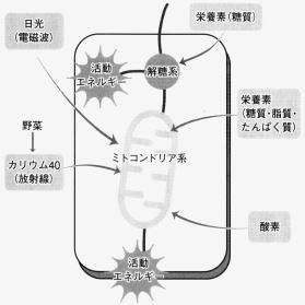 細胞内のエネルギー産生、解糖系とミトコンドリア
